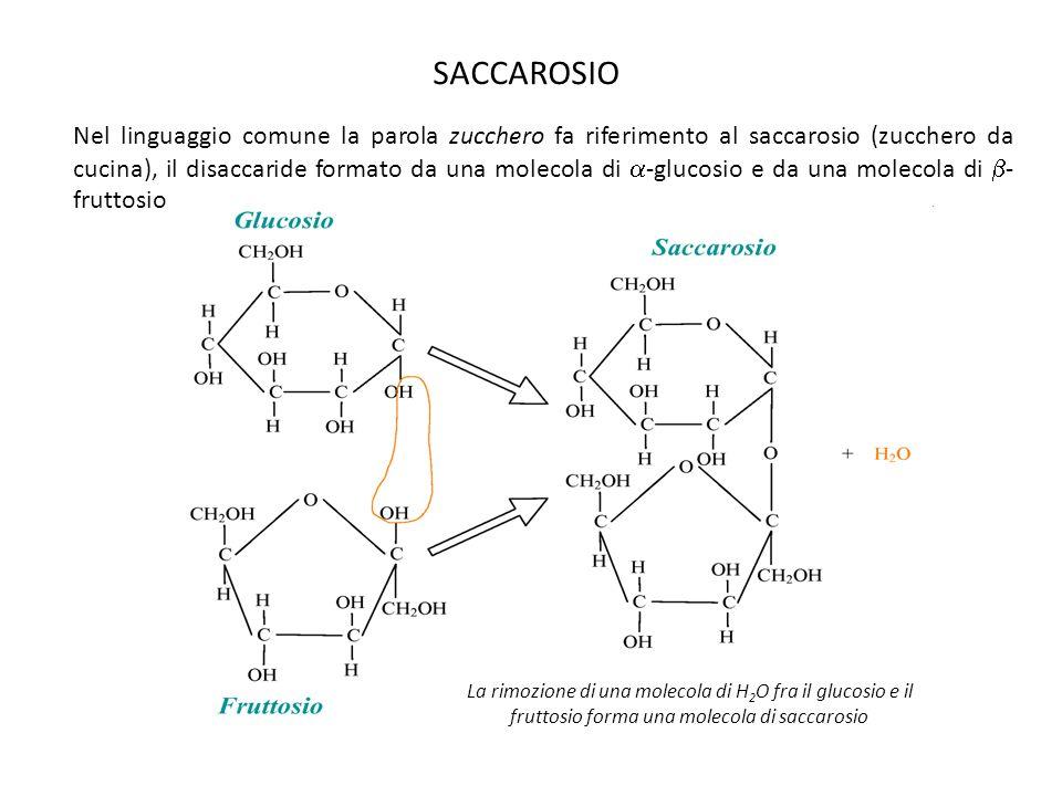 SACCAROSIO La rimozione di una molecola di H 2 O fra il glucosio e il fruttosio forma una molecola di saccarosio Nel linguaggio comune la parola zucch