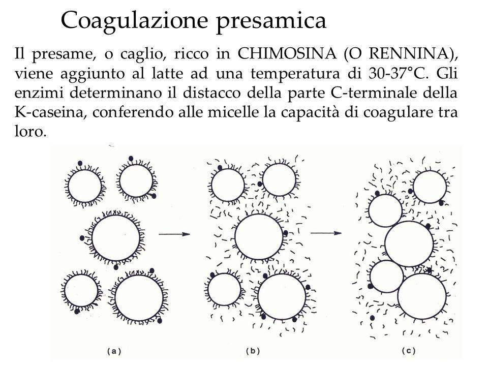 Coagulazione presamica Il presame, o caglio, ricco in CHIMOSINA (O RENNINA), viene aggiunto al latte ad una temperatura di 30-37°C. Gli enzimi determi