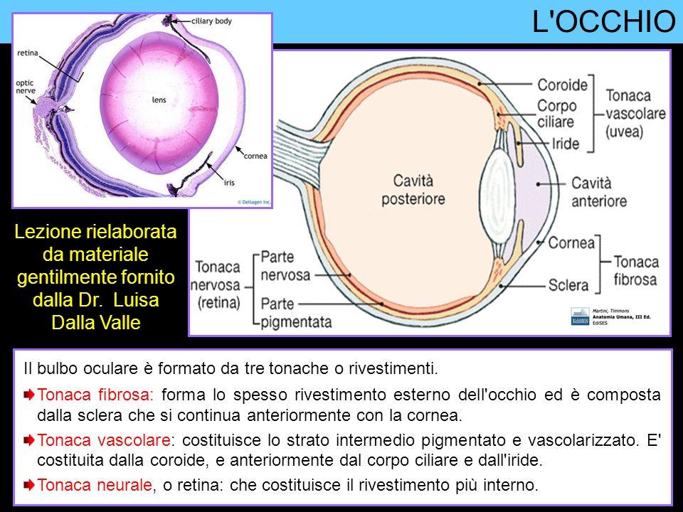 Ghiandola lacrimale L apparato lacrimale mantiene lubrificata con le lacrime la superficie anteriore dell occhio, evitando così la disidratazione della cornea.
