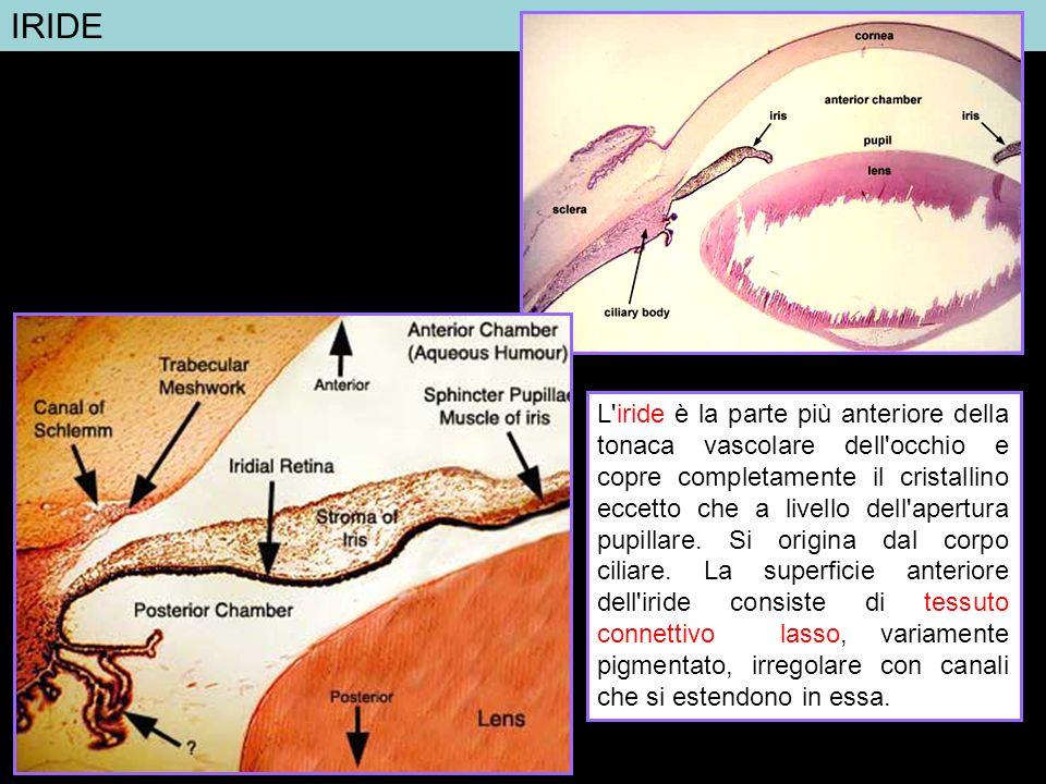 IRIDE L'iride è la parte più anteriore della tonaca vascolare dell'occhio e copre completamente il cristallino eccetto che a livello dell'apertura pup