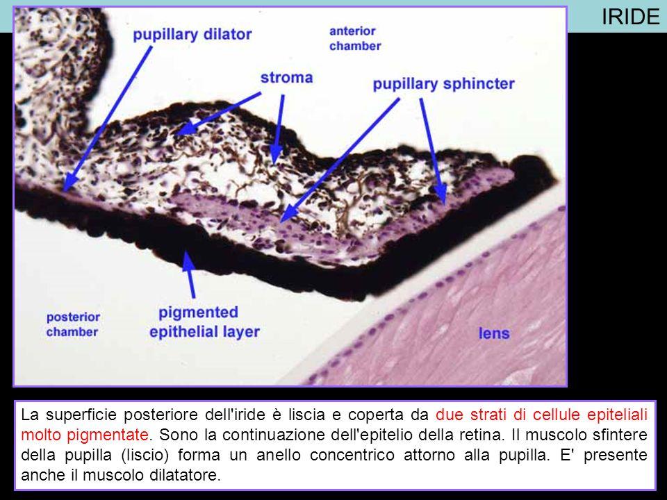 IRIDE La superficie posteriore dell'iride è liscia e coperta da due strati di cellule epiteliali molto pigmentate. Sono la continuazione dell'epitelio