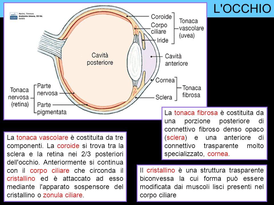 L OCCHIO Il cristallino, i processi ciliari e il corpo ciliare dividono l occhio in un compartimento posteriore contenente uno spesso gel (corpo vitreo, tessuto connettivo specializzato) e in un compartimento anteriore contenente un fluido acquoso (umor acqueo).
