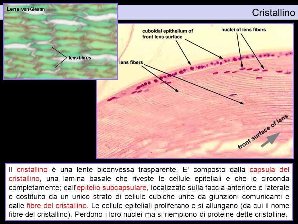 Cristallino Il cristallino è una lente biconvessa trasparente. E' composto dalla capsula del cristallino, una lamina basale che riveste le cellule epi
