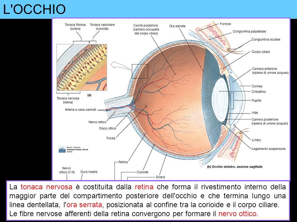 L'OCCHIO La tonaca nervosa è costituita dalla retina che forma il rivestimento interno della maggior parte del compartimento posteriore dell'occhio e