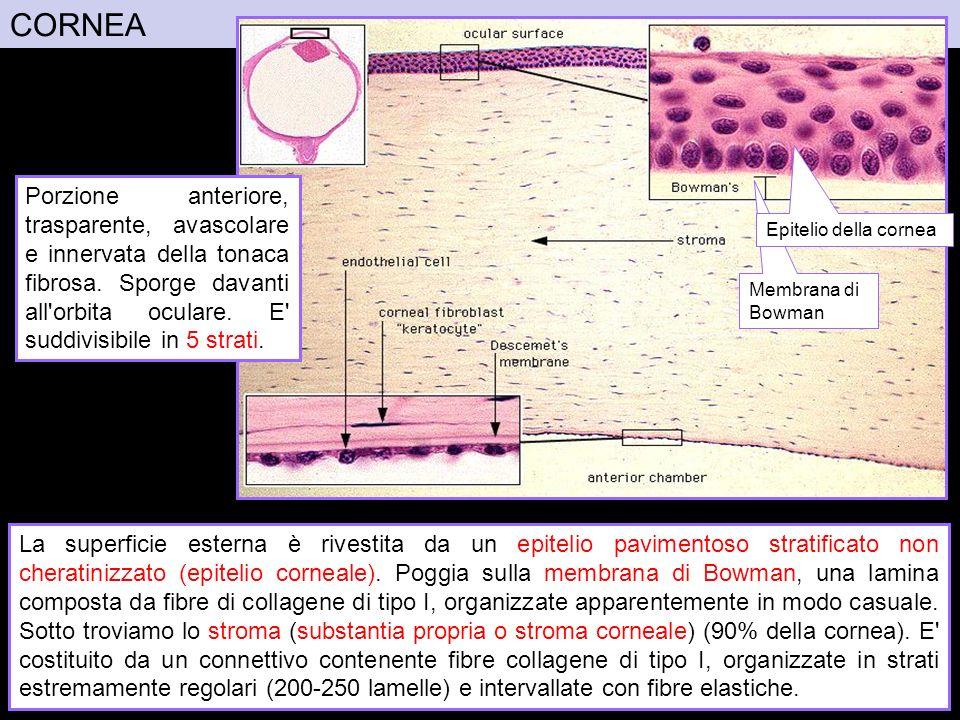 CORNEA La superficie esterna è rivestita da un epitelio pavimentoso stratificato non cheratinizzato (epitelio corneale). Poggia sulla membrana di Bowm