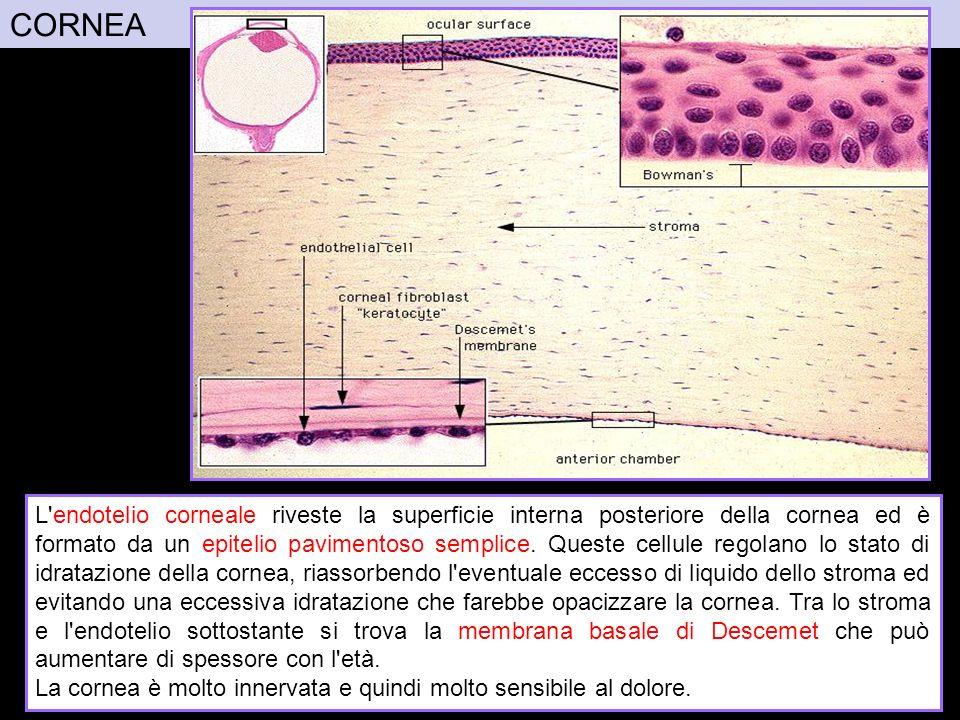 CORNEA La sclera costituisce i 5/6 posteriori della tonaca fibrosa.