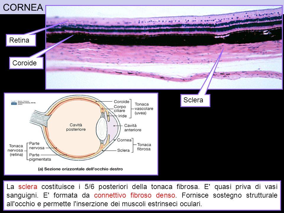 CORNEA La sclera costituisce i 5/6 posteriori della tonaca fibrosa. E' quasi priva di vasi sanguigni. E' formata da connettivo fibroso denso. Fornisce