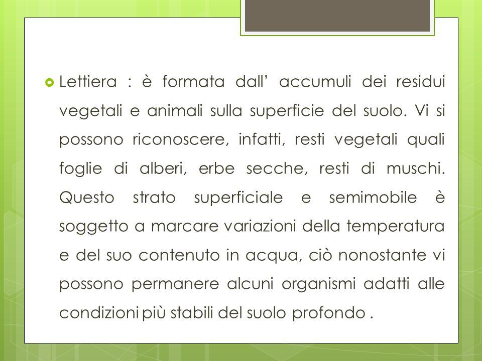 Lettiera : è formata dall accumuli dei residui vegetali e animali sulla superficie del suolo. Vi si possono riconoscere, infatti, resti vegetali quali