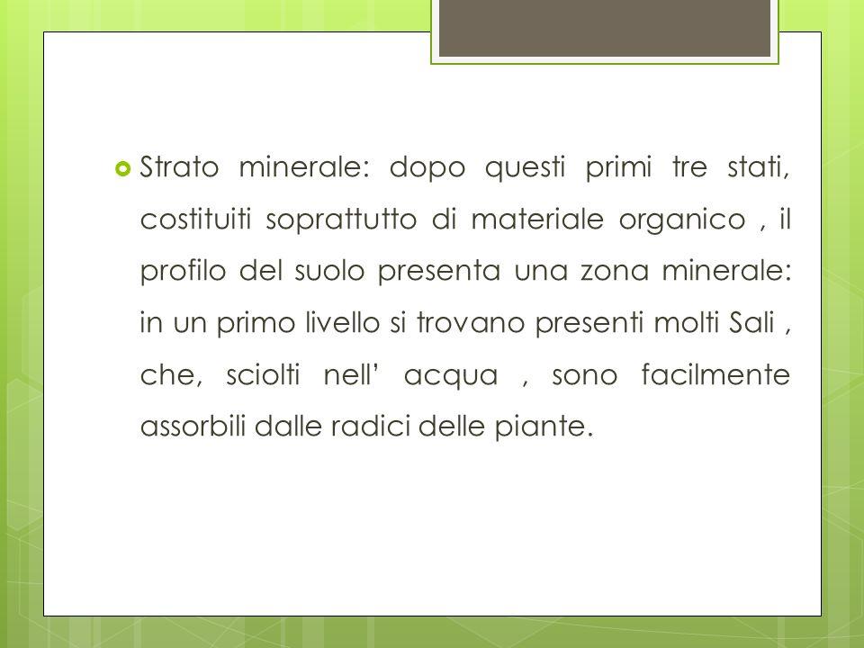 Strato minerale: dopo questi primi tre stati, costituiti soprattutto di materiale organico, il profilo del suolo presenta una zona minerale: in un pri