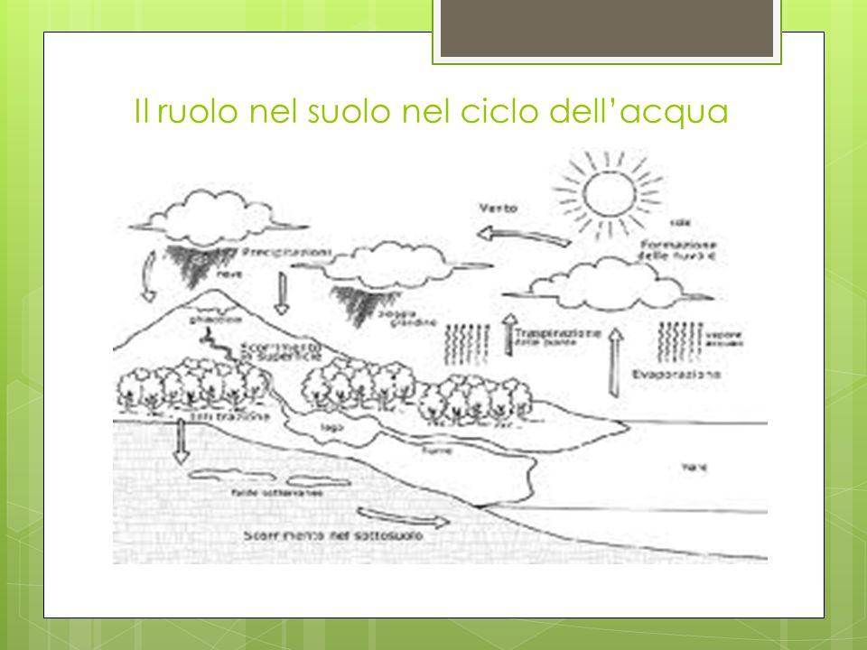 Il ruolo nel suolo nel ciclo dellacqua