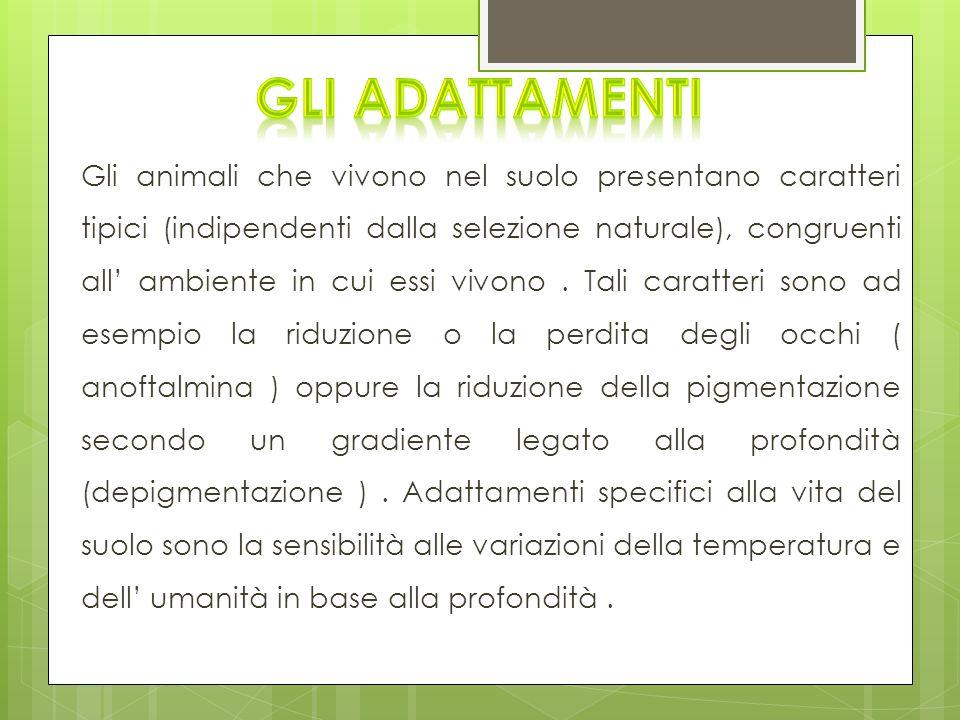 Gli animali che vivono nel suolo presentano caratteri tipici (indipendenti dalla selezione naturale), congruenti all ambiente in cui essi vivono. Tali
