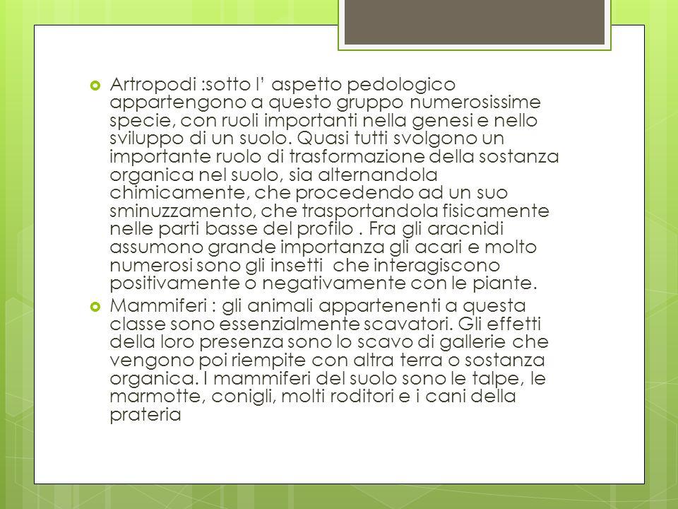 Artropodi :sotto l aspetto pedologico appartengono a questo gruppo numerosissime specie, con ruoli importanti nella genesi e nello sviluppo di un suol