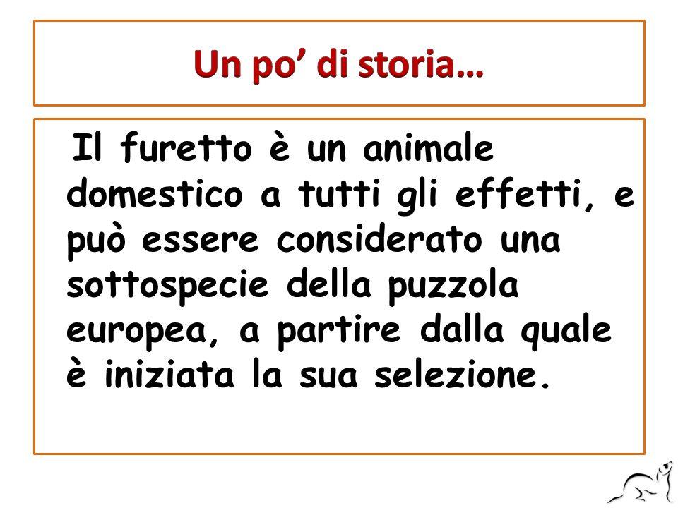 Il furetto è un animale domestico a tutti gli effetti, e può essere considerato una sottospecie della puzzola europea, a partire dalla quale è iniziat