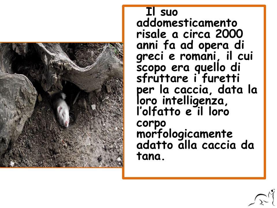 Il suo addomesticamento risale a circa 2000 anni fa ad opera di greci e romani, il cui scopo era quello di sfruttare i furetti per la caccia, data la