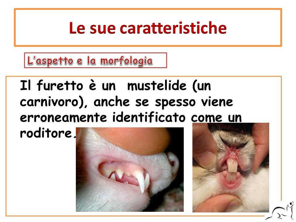 Il furetto è un mustelide (un carnivoro), anche se spesso viene erroneamente identificato come un roditore.