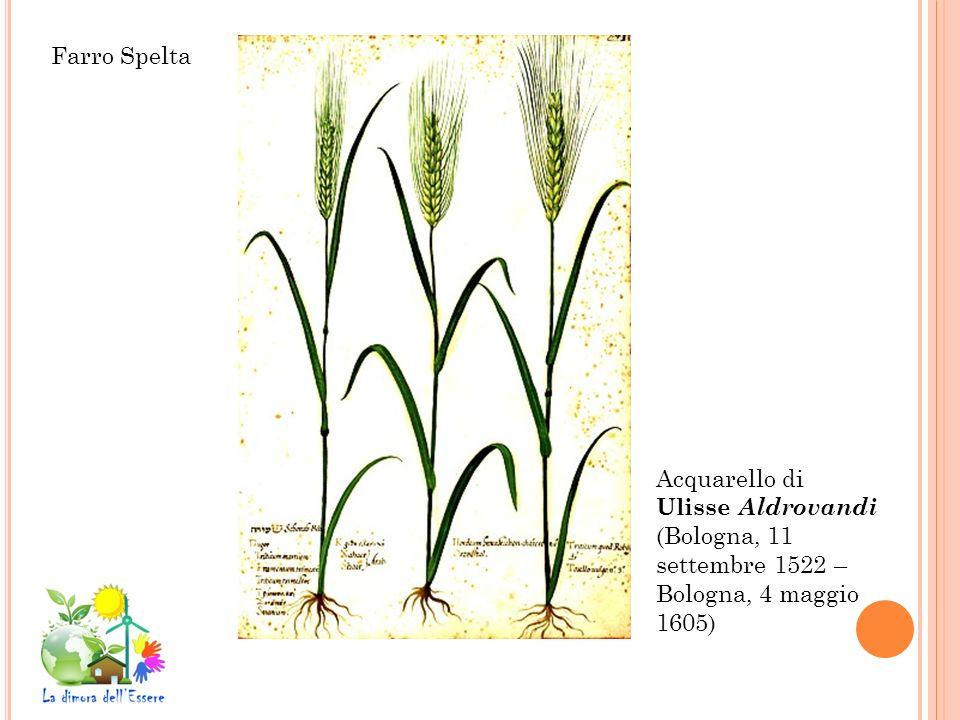 Acquarello di Ulisse Aldrovandi (Bologna, 11 settembre 1522 – Bologna, 4 maggio 1605) Farro Spelta
