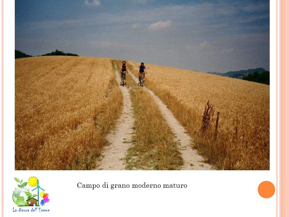 Campo di grano moderno maturo