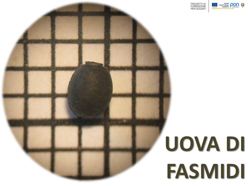Se si alleva un esemplare femmina di insetto stecco, sul fondo della teca si ritroveranno tante piccole sferette che si confondono tra gli escrementi.