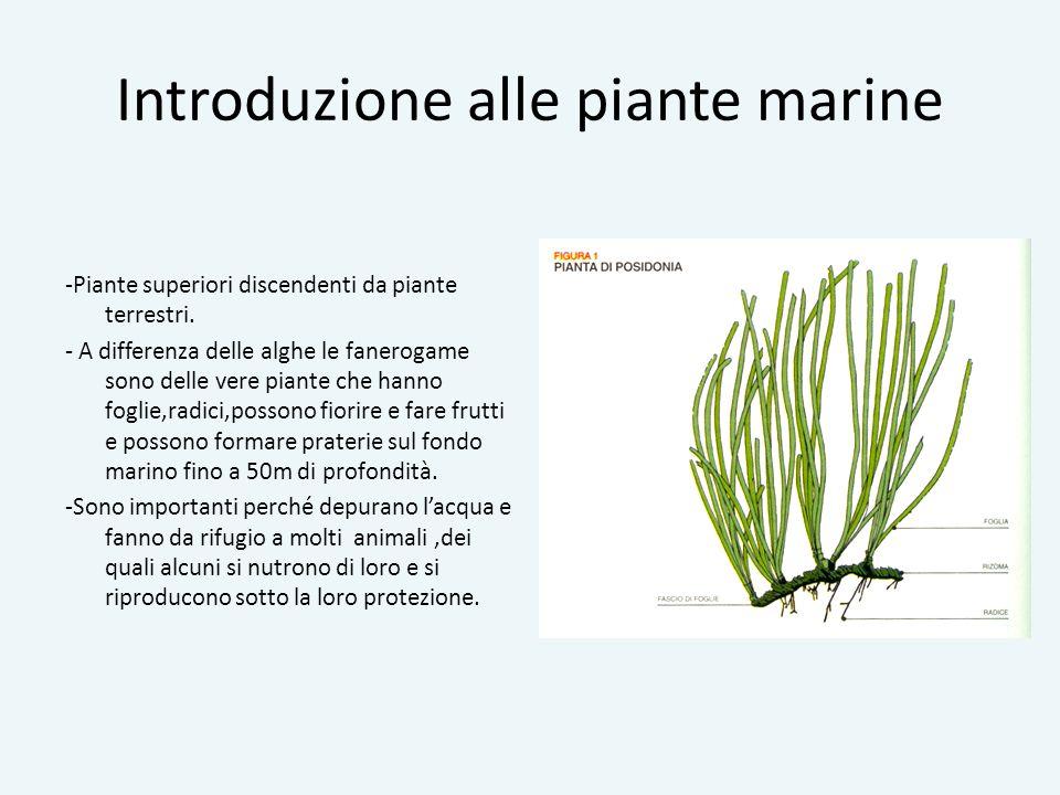 Introduzione alle piante marine -Piante superiori discendenti da piante terrestri. - A differenza delle alghe le fanerogame sono delle vere piante che