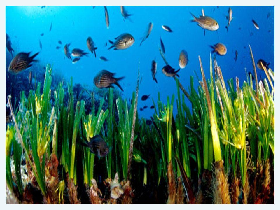 -NellAdriatico troviamo 4 specie: Posidonia oceanica Cymodocea nodosa Nanozostera noltii Zostera marina