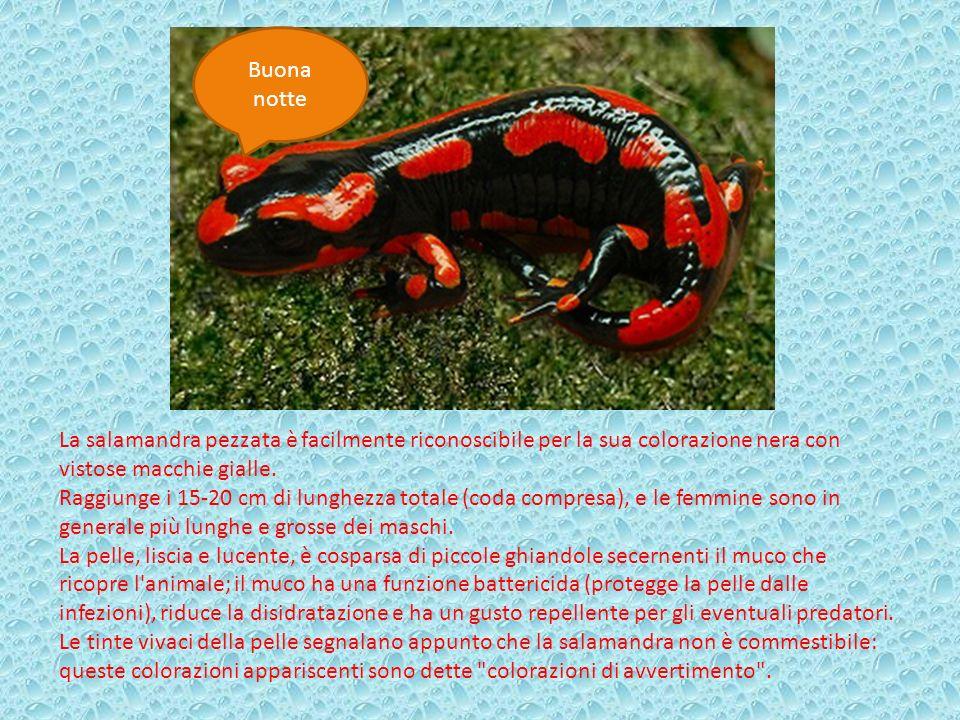 Buona notte La salamandra pezzata è facilmente riconoscibile per la sua colorazione nera con vistose macchie gialle. Raggiunge i 15-20 cm di lunghezza