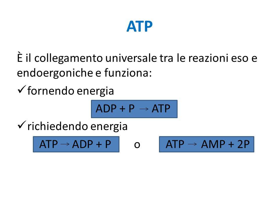 ATP È il collegamento universale tra le reazioni eso e endoergoniche e funziona: fornendo energia ADP + P ATP richiedendo energia ATP ADP + P o ATP AMP + 2P