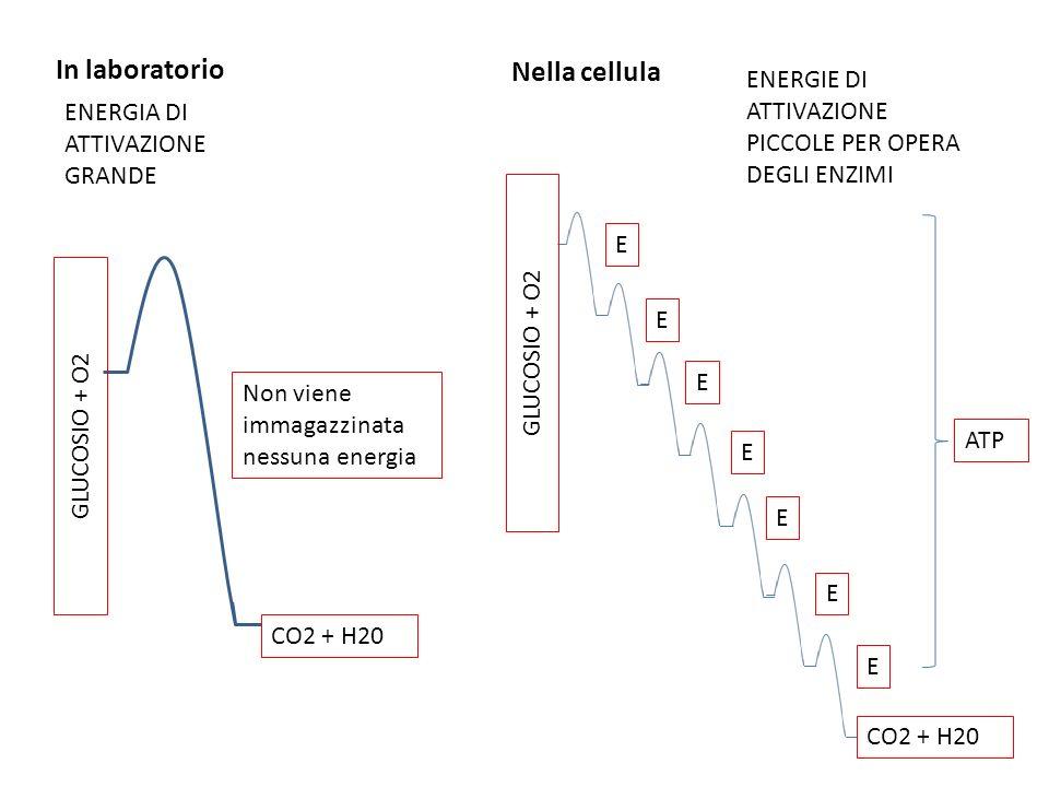 In laboratorio Nella cellula ENERGIA DI ATTIVAZIONE GRANDE GLUCOSIO + O2 CO2 + H20 GLUCOSIO + O2 CO2 + H20 ENERGIE DI ATTIVAZIONE PICCOLE PER OPERA DEGLI ENZIMI E E E E E E E Non viene immagazzinata nessuna energia ATP