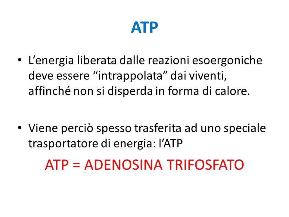 ATP Lenergia liberata dalle reazioni esoergoniche deve essere intrappolata dai viventi, affinché non si disperda in forma di calore. Viene perciò spes