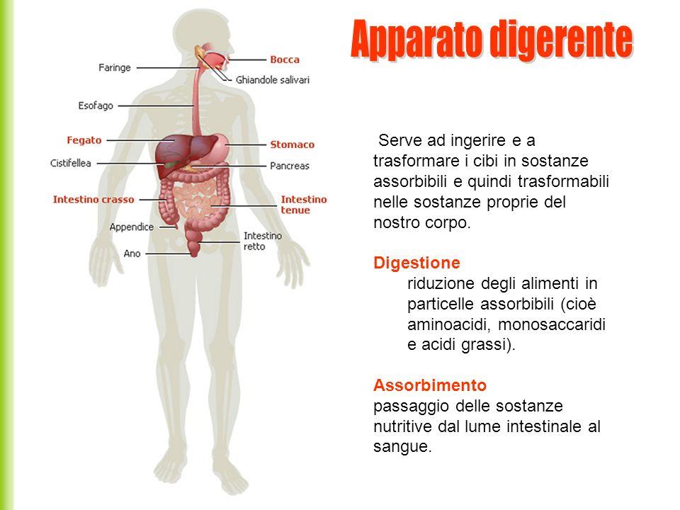 Intestino tenue L intestino tenue si divide in tre parti senza un confine ben preciso tra di loro.