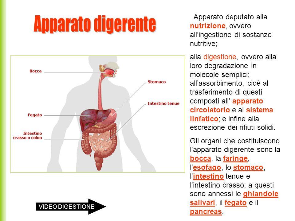 Il coledoco trasporta il succo biliare o bile che contiene: acidi biliari (emulsionano i grassi) NaBic che neutralizza l HCI Il dotto pancreatico trasporta il succo pancreatico che contiene: alfa-amilasi (decompone gli amidi in disaccaridi) lipasi (scompone i grassi in acidi grassi e glicerina) tripsina e chimotripsina (scompongono i peptoni in peptoni più corti).