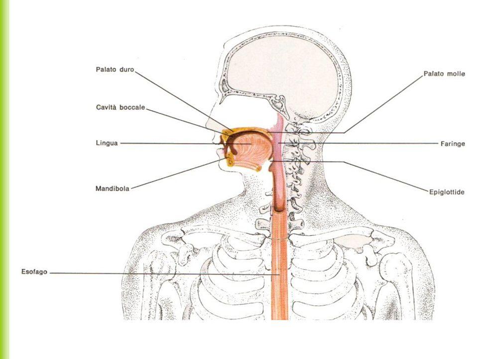 Faringe Deglutizione La faringe é il punto d incrocio fra le vie respiratorie e quelle digestive.
