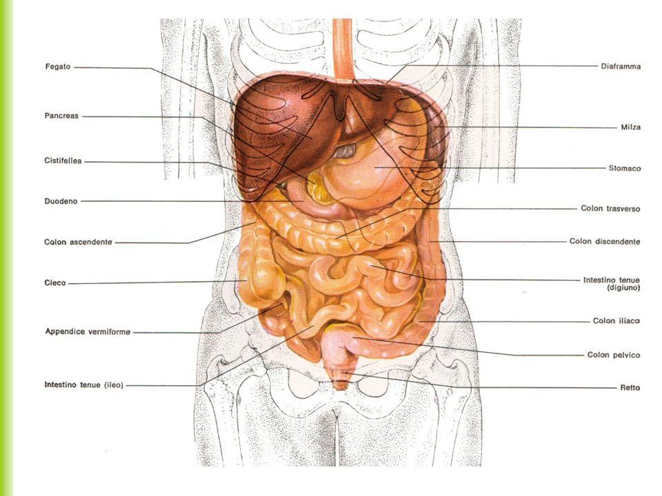 Milza La milza si trova nella parte alta posteriore e sinistra dell addome, sotto la parte sinistra del diaframma.