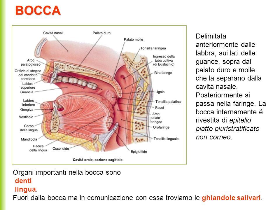 La lingua La lingua : é un organo puramente muscolare la cui superficie é disseminata di papille gustative di vario tipo.