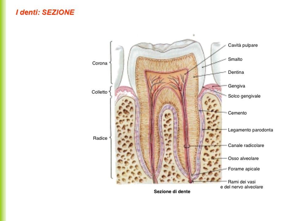 Denti delladulto: Arcata superiore ed inferiore