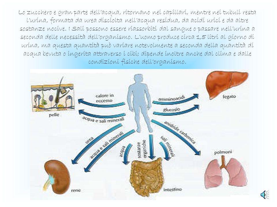 La funzione dei reni I reni svolgono tre importanti funzioni: -filtrano il sangue per eliminare le sostanze di rifiuto; -mantengono costante le quanti