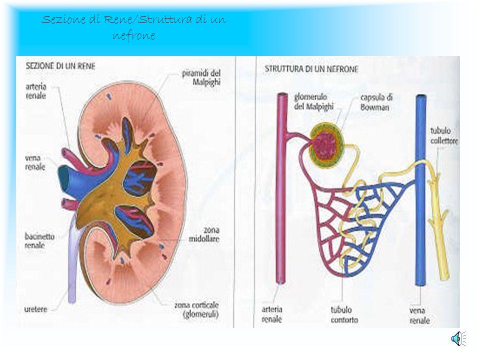 Lapparato urinario Gli organi principali dellapparato urinario sono i reni, che si trovano nella parte posteriore delladdome ai lati della colonna ver