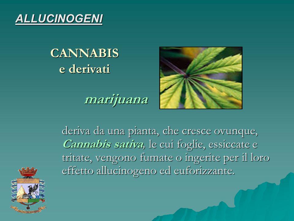 CANNABIS marijuana deriva da una pianta, che cresce ovunque, Cannabis sativa, le cui foglie, essiccate e tritate, vengono fumate o ingerite per il lor