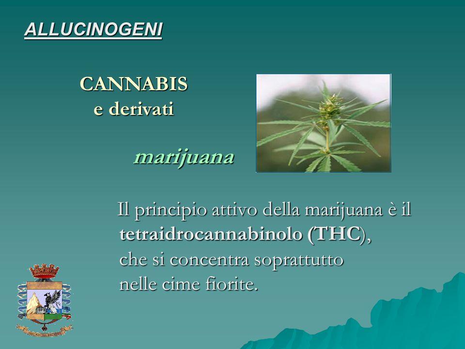 Il principio attivo della marijuana è il tetraidrocannabinolo (THC), che si concentra soprattutto nelle cime fiorite. Il principio attivo della mariju