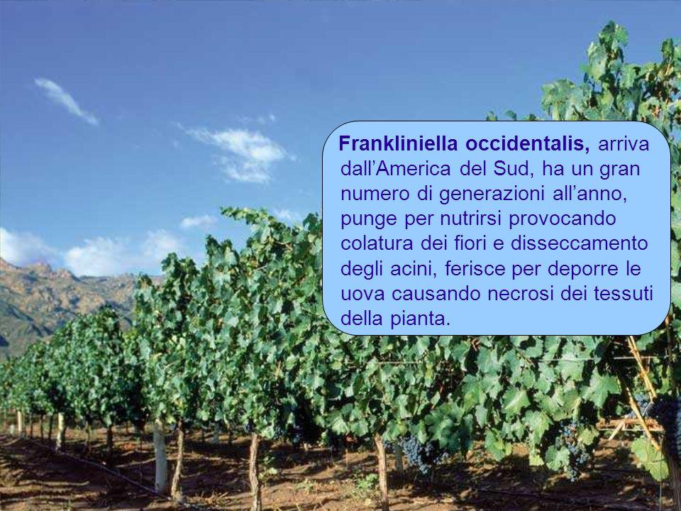 Frankliniella occidentalis, arriva dallAmerica del Sud, ha un gran numero di generazioni allanno, punge per nutrirsi provocando colatura dei fiori e d