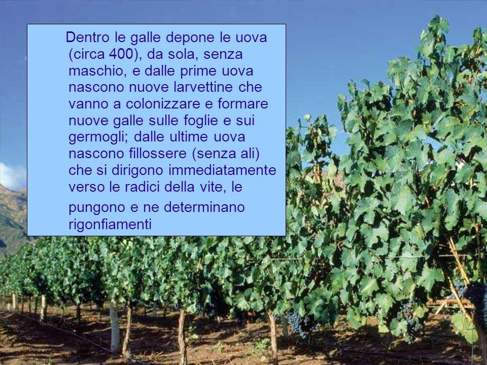 Nel corso della stagione vegetativa della vite si osservano fino a 8 generazioni digallecole ma, con lavanzare della stagione, aumentano le radicicole e diminuiscono le fillossere gallecole.