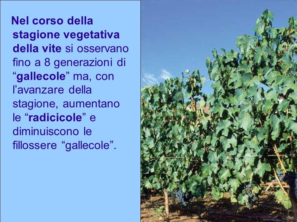 Nel corso della stagione vegetativa della vite si osservano fino a 8 generazioni digallecole ma, con lavanzare della stagione, aumentano le radicicole