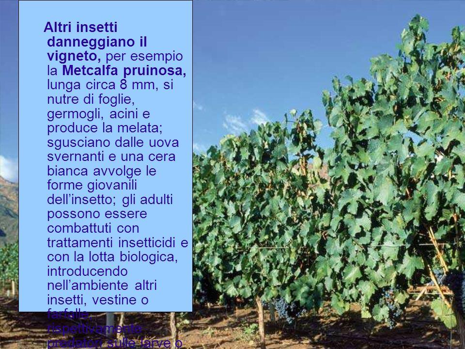 Altri insetti danneggiano il vigneto, per esempio la Metcalfa pruinosa, lunga circa 8 mm, si nutre di foglie, germogli, acini e produce la melata; sgu