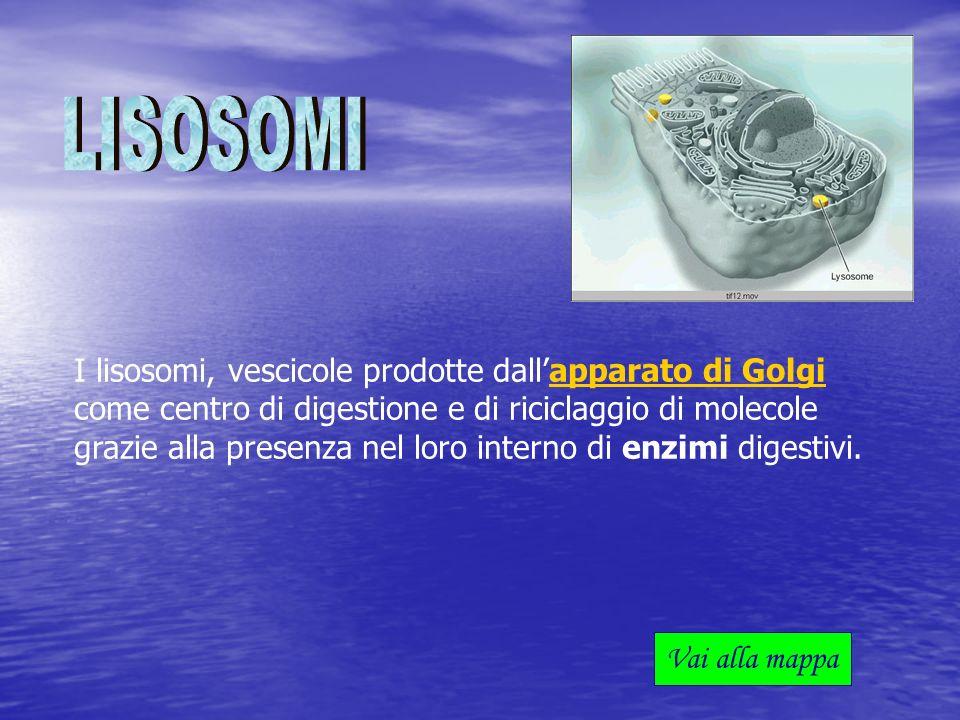 I lisosomi, vescicole prodotte dallapparato di Golgi come centro di digestione e di riciclaggio di molecole grazie alla presenza nel loro interno di e