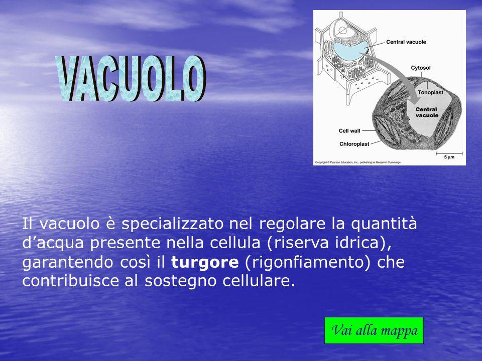 Il vacuolo è specializzato nel regolare la quantità dacqua presente nella cellula (riserva idrica), garantendo così il turgore (rigonfiamento) che con