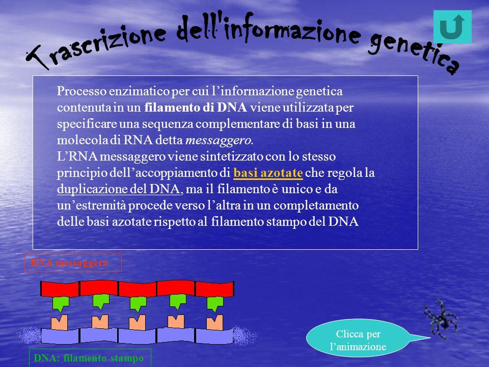 DNA: filamento stampo RNA messaggero Processo enzimatico per cui linformazione genetica contenuta in un filamento di DNA viene utilizzata per specific