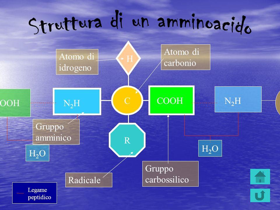 C N2HN2H COOH R H Gruppo amminico Gruppo carbossilico Radicale Atomo di idrogeno Atomo di carbonio N2HN2H H2OH2O Legame peptidico COOH H2OH2O