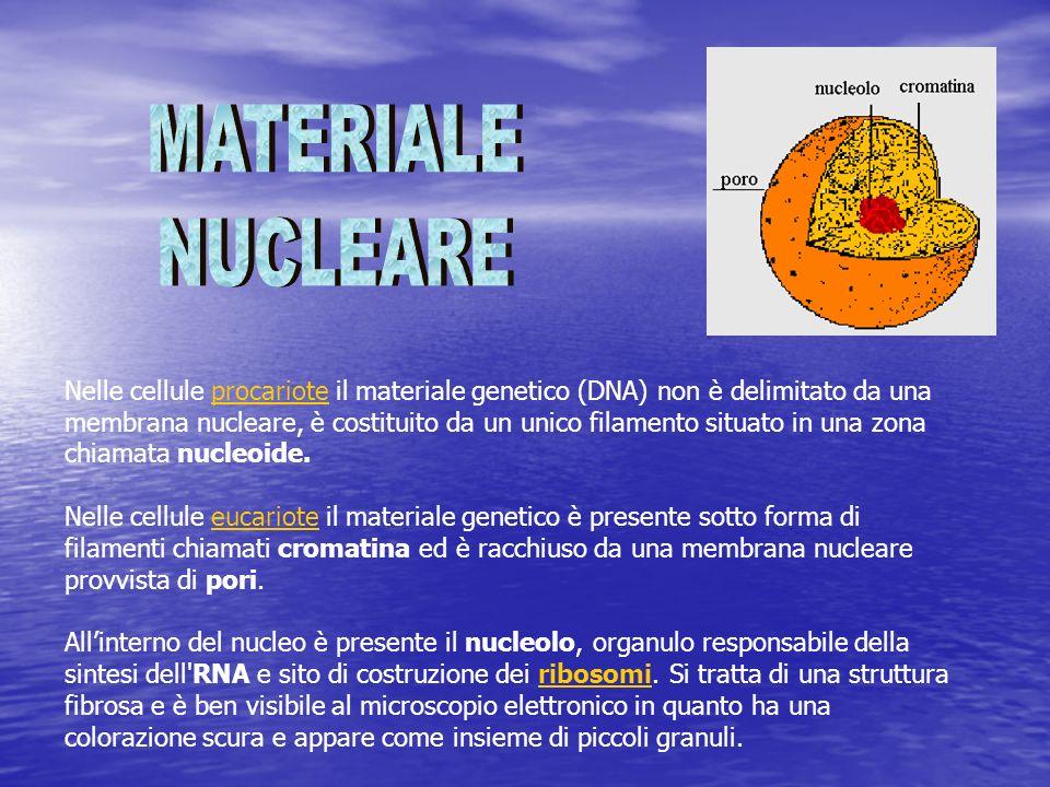 Nelle cellule procariote il materiale genetico (DNA) non è delimitato da una membrana nucleare, è costituito da un unico filamento situato in una zona