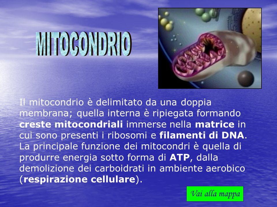 Il mitocondrio è delimitato da una doppia membrana; quella interna è ripiegata formando creste mitocondriali immerse nella matrice in cui sono present