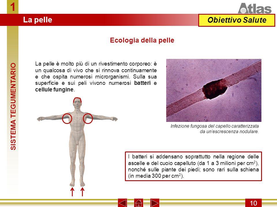 1 10 I batteri si addensano soprattutto nella regione delle ascelle e del cuoio capelluto (da 1 a 3 milioni per cm 2 ), nonché sulle piante dei piedi;