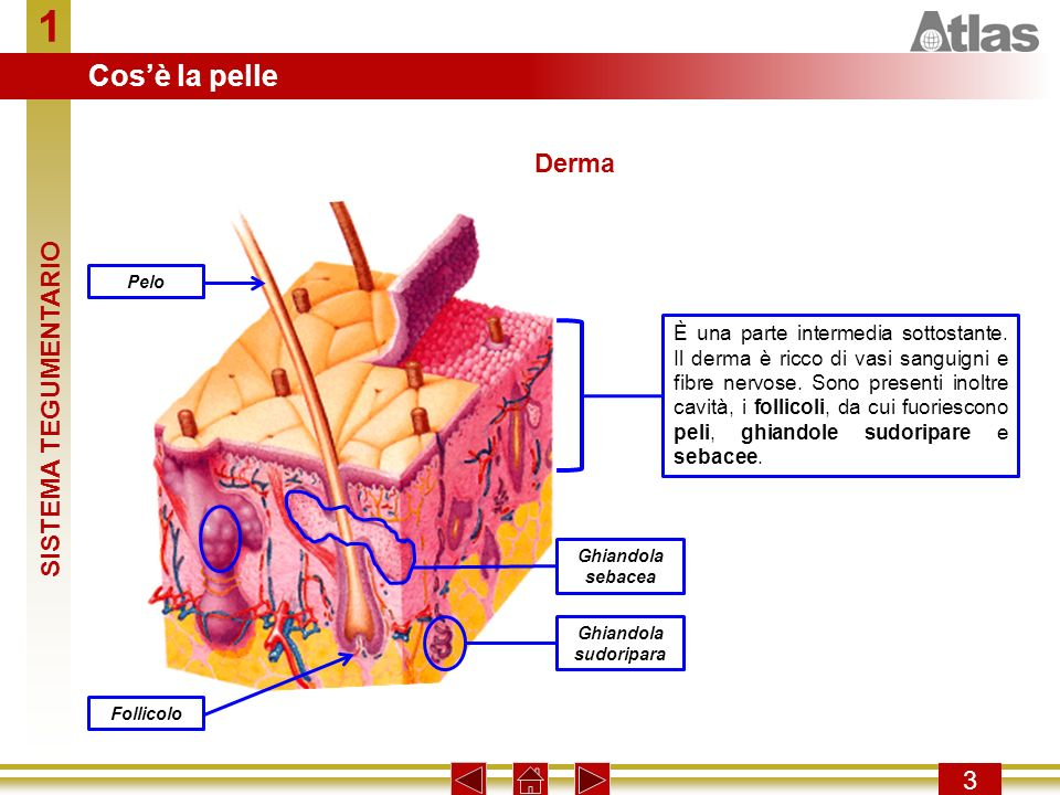 1 3 È una parte intermedia sottostante.Il derma è ricco di vasi sanguigni e fibre nervose.